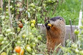 how to keep groundhogs out of my garden. Plain Keep Image To How Keep Groundhogs Out Of My Garden O