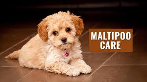 5 simple and effective maltipoo care