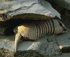 Реферат Животные Южной Америки ru  черепах рыбу мелких животных Размножаются ягуары круглый год Беременность длится 100 110 дней В выводке насчитывается до 4 детенышей
