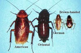 Image result for Brown banded Cockroach