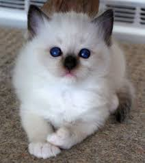 Small Picture 570 best Ragdolls images on Pinterest Kitty cats Animals and