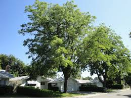 Later, the female trees produce large pods that are 5 to 10 long and about 1.5 wide. Kentucky Coffee Tree Tree Davis
