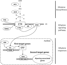 Ethylene Control Of Fruit Ripening Revisiting The Complex Network