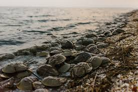 When To See Horseshoe Crabs In Delaware 2019 Abbyventure Com