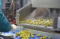 Αποτέλεσμα εικόνας για Εικόνες για εργοστάσιο τυποποίησης ελιάς Άμφισσας