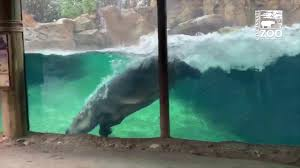 Hippo Fiona <b>Having a Whale of</b> a Good Time - Cincinnati Zoo ...