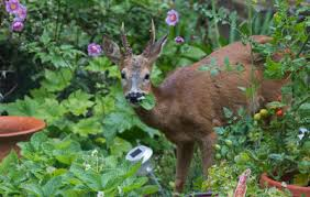 how to keep deer out of your garden. Deer Eating Vegetables In Garden How To Keep Out Of Your R