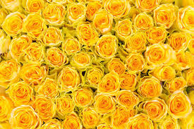 Yellow Roses Wallpapers - Top Free ...