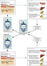 17 9 The Pancreas Anatomy Physiology