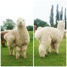 Purl Alpaca Designs Alpacas Getting Their Annual Haircut Purl Alpaca Designs