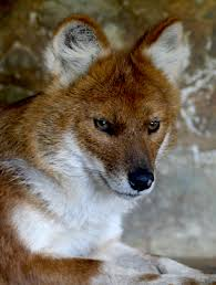 Small Picture Dholes by Nicole Venema issuu