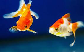 15 Best Goldfish Tank Mates (With Pictures) - AquariumNexus