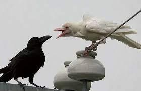 天下烏鴉一般黑可在日本就發現一隻真正的白烏鴉- 每日頭條