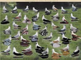 Roller Pigeon Color Chart Color Chart Of Swallows By Gary Romig