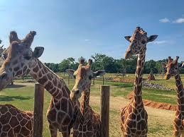 Meet Lance, the lifesaving giraffe | DVM 360