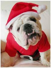 Christmas Bulldogs (Santa Bulldogs)