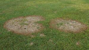 Turf Disease Large Patch Nc State Extension