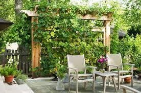 vines are perfect for patio and pergolas