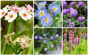 17 diffe types of primrose plants