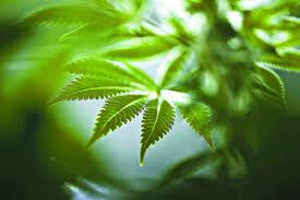 weed news