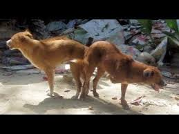 dogs and cats mating together. Exellent Cats Why Do Dogs Get Stuck Together When Breeding  The Best Documentary Ever To And Cats Mating
