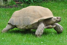African Spurred Tortoise Wikipedia
