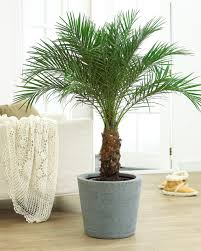Decorative Indoor Trees Areca Palm Tree Palm Trees For Sale Plants And Growing Tree