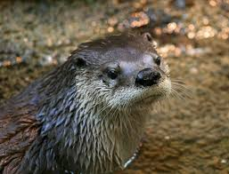 modern photo of a sea otter in the wild partially submerged in water and looking