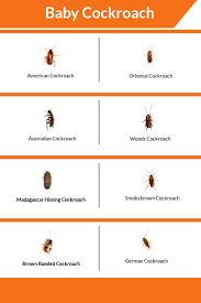 What Does A Baby Roach Look Like 8 Picture Of Baby Cockroach