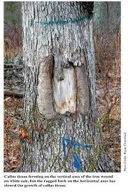 tree bark repair methods. Contemporary Bark Wounded Tree In Tree Bark Repair Methods N