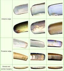 Clam Identification Chart Detailed Comparative Morphological Chart Of E Ensis And E