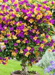 Buy Paper Flower Elif Imported Paper Flower Colorful Bougainvillea Plant Seed