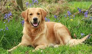 golden retriever. Perfect Retriever Golden Retriever Dog Breed On E