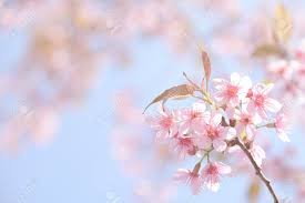 Beautiful Pink Cherry Blossom Background