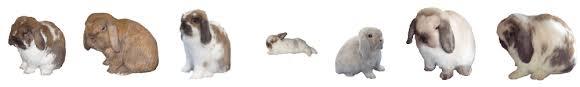 Holland Lop Rabbit Color Chart 2019