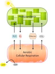 cellular respiration and the role of the circulatory system