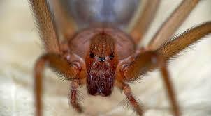 Olbia: giovane morso da ragno violino