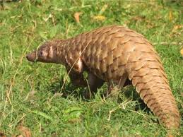 indian pangolin is highly endangered in india and world s most hunted as well as most trafficked in the world the endangered thick tailed