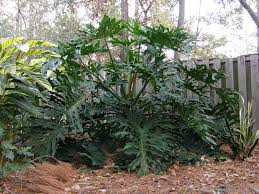 plant information built to bloom landscape split leaf philodendron