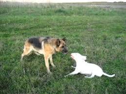 bull terrier german shepherd mix. Perfect Shepherd Bull Terrier And German Shepherd 2 To Terrier German Shepherd Mix L
