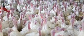 Ptasia grypa w Rościnie. Zagazują całą hodowlę