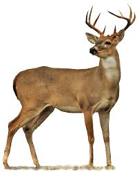 buck has legs that look proportional to the body size has a neck the same width or wider than face is proportional from front to rear of