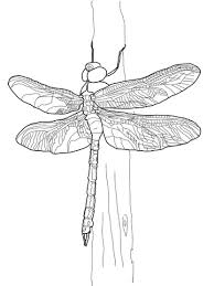 Small Picture Green Darner Dragonfly coloring page Free Printable Coloring Pages