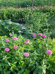 pink zinnias growing beside tomato and squash plants photo by bob schamerhorn