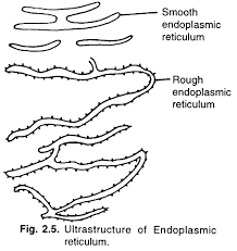 Image result for smooth endoplasmic reticulum diagram a level