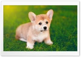 cute pembroke welsh corgi puppy hd wide wallpaper for 4k uhd widescreen desktop smartphone