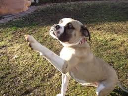 american bulldog pitbull boxer mix. Exellent American American Bulldog Boxer Mix Pictures And Pitbull L