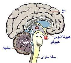 نتیجه تصویری برای سیستم عصبی بدن