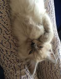 Small Picture Pictures of Ragdoll Cats With Their Paws Crossed