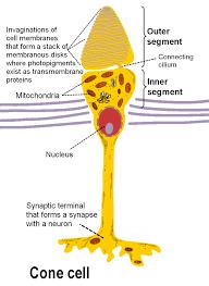 เซลล์รูปกรวย - วิกิพีเดีย